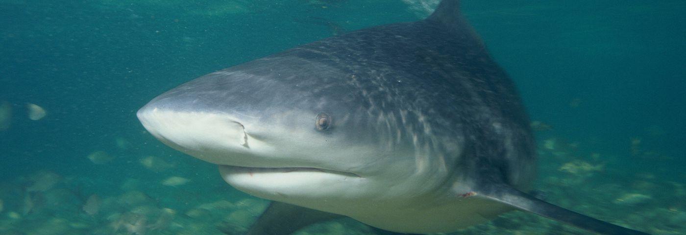Questions / Réponses Le risque requin et la plongée autour de l'île de la Réunion