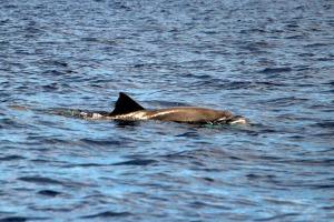 Grand dauphin de L'indo-pacifique Réuniuon Plongée kodak