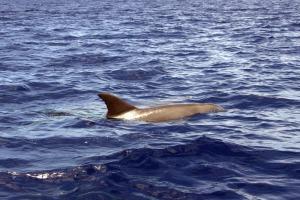 Grand dauphin de L'indo-pacifique Réuniuon Plongée1