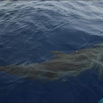 grand dauphin tursiops truncatus
