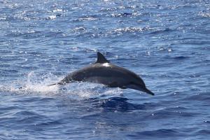 dauphin long bec Bec Réunion PlongéeA