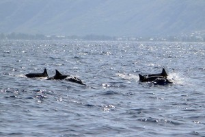 dauphin long bec Bec Réunion Plongée 1