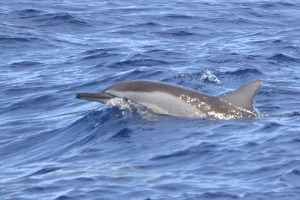 dauphin long bec Bec Réunion Plongée 3