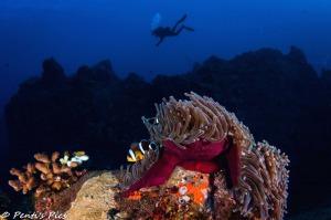 poisson clown plongeur réunion