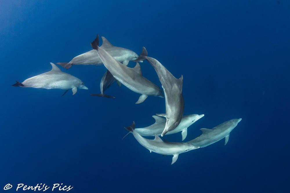 groupe de dauphins à la reunion