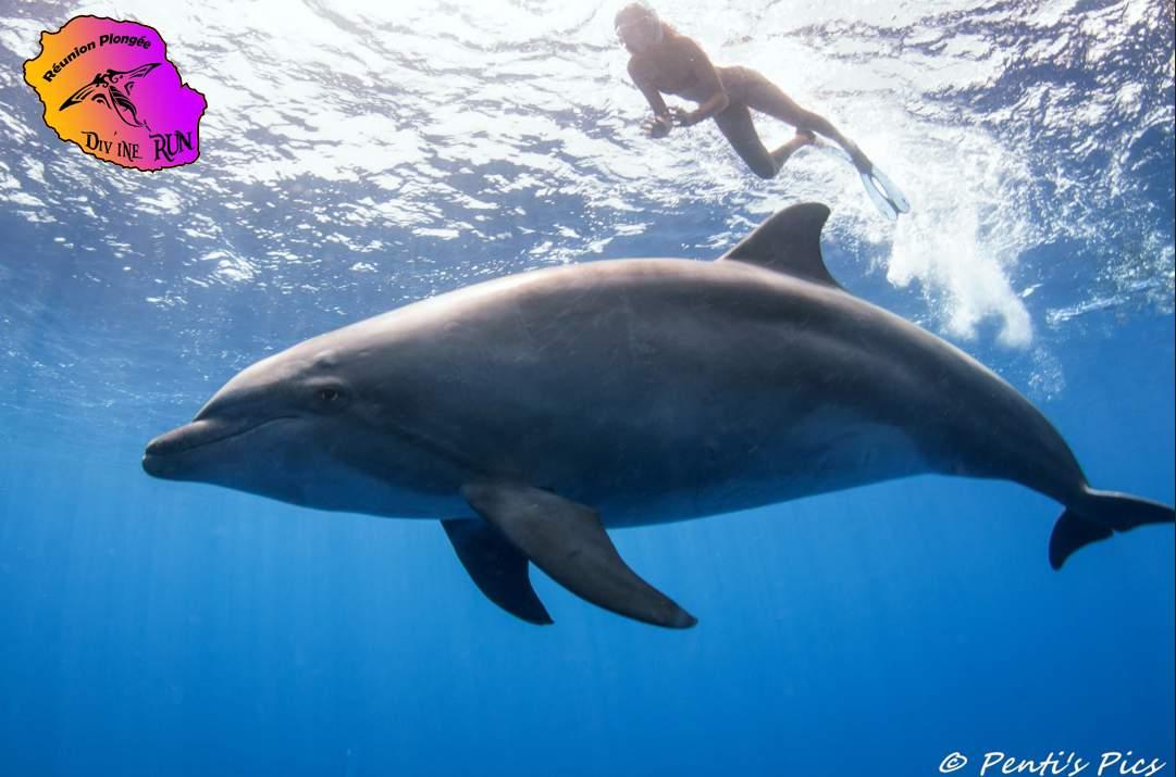 dauphin tursiops truncatus avec nageur en apnée