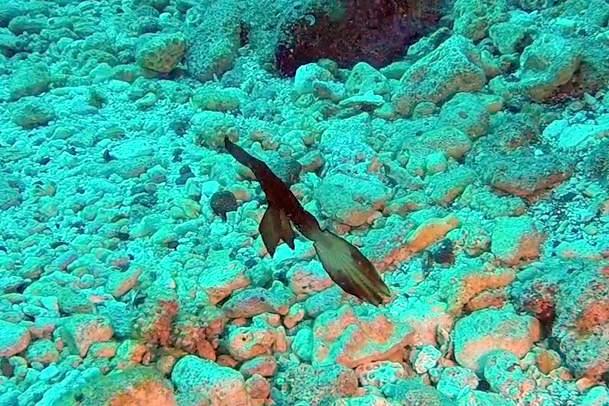 poisson fantôme lors d'une plongée sur l'île de la Réunion