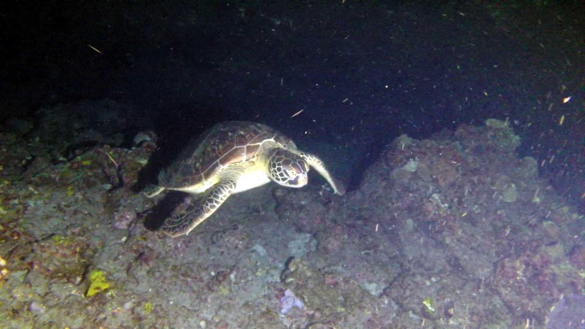 tortue plongée de nuit réunion plongée reunion island saint leu
