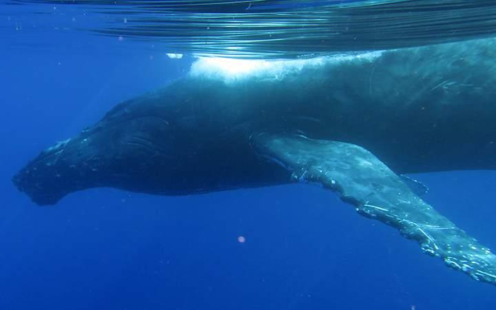 baleine à bosse à la Réunion