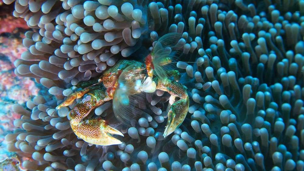crabe porcelaine sur son anémone platte