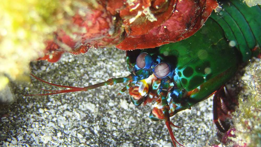 crabe porcelaine ou squille