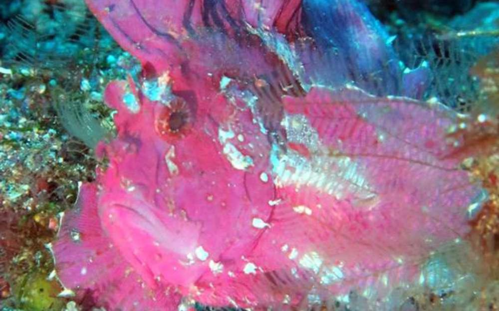 poisson feuille viollet