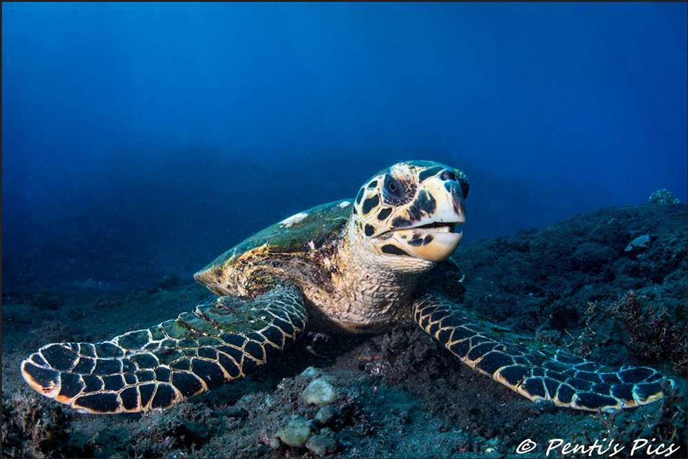 tortue imbriquee or hawksbill turtle